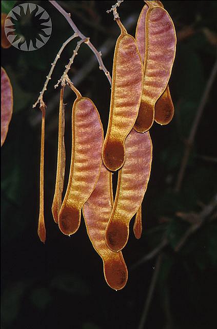 Orthosiphon Aristatus Thaivita